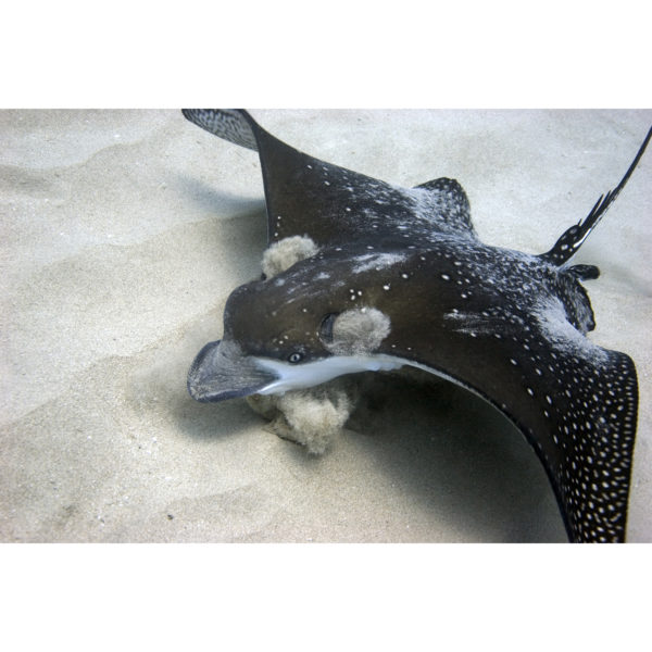 Eagle Ray Earmuffs