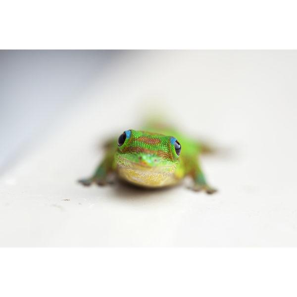 Gecko Greeting