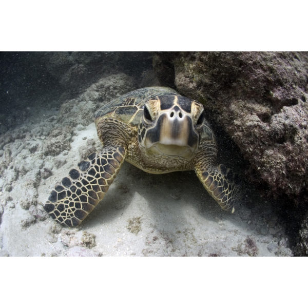 Honu Youngster