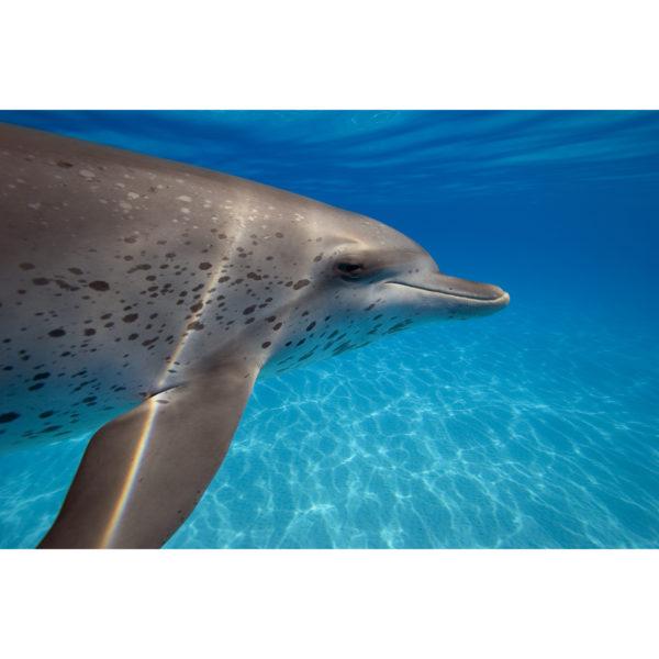 Rainbow-fin Dolphin