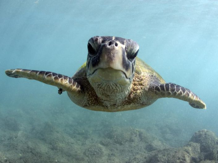 Turtles(Honu)